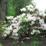 Altamont bush